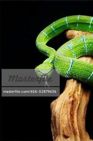 Green Pitviper snake hissing