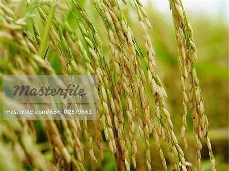 closeup of rice stalks