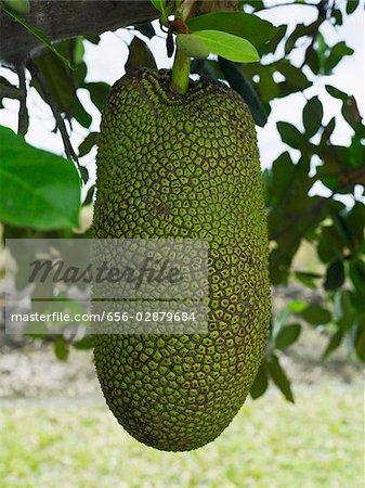 Jackfruit hanging from tree