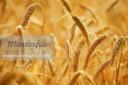 Ears of rye in the field