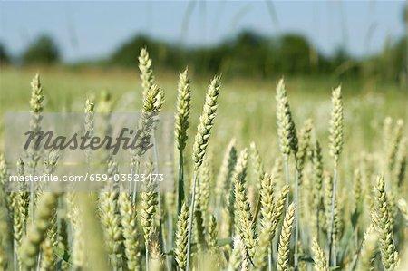 Ears of wheat in the field