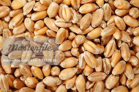 Grains of wheat (full-frame)