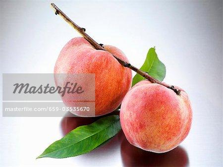 Yellow Florentine peaches on branch