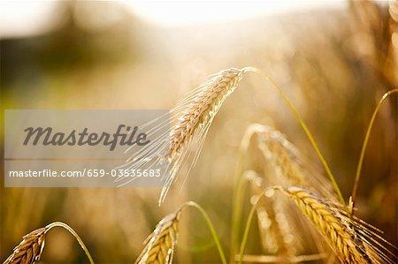 Rye field (detail)