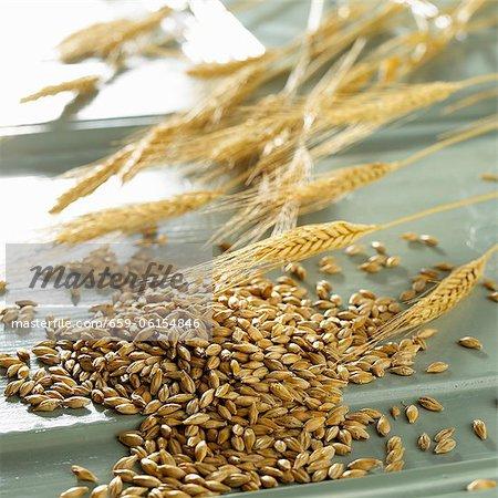 Barley corns and ears