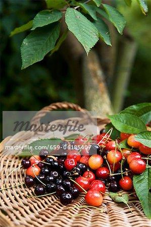 Various types of cherries with leaves in basket