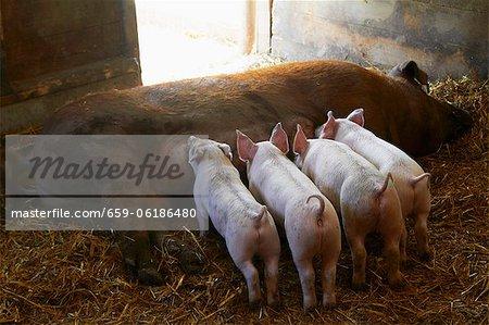 Piglets Nursing on a Farm