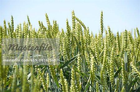 Ears of wheat in the sun