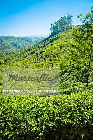 A tea plantation in Munnar, Kerala, India