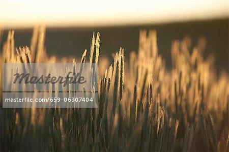 A cornfield by sunset