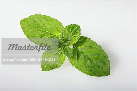 Mentuccia mint (Mentha species Mentuccia)