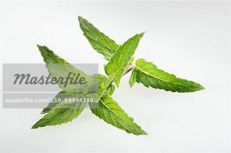 Nana mint (Mentha spicata var. crispa Nane)