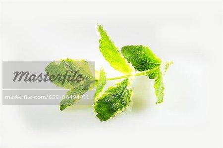 Fresh apple mint
