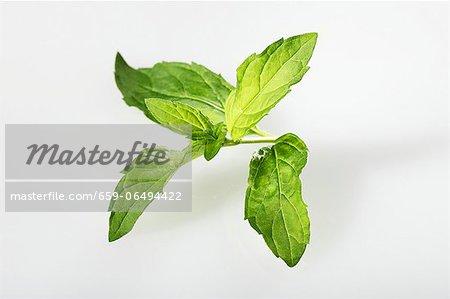 Japanese mint
