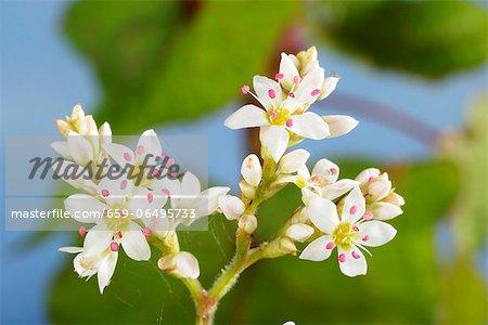 Buckwheat flowers (fagopyrum cymosum)