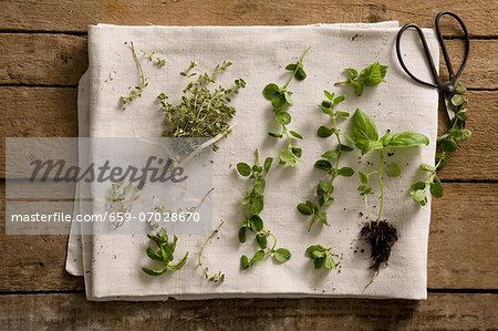Fresh herbs on a white tea towel