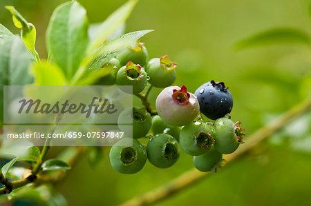 Unripe blueberries on the bush