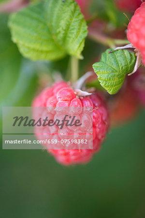 Closeup of raspberry growing in garden
