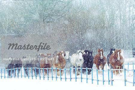 Horses running on the snow field