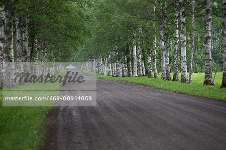 White birch lined street
