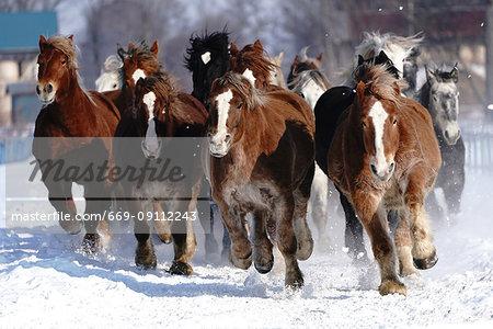 Herd of horse running in snow field