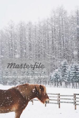 Dosanko (Hokkaido Horse) in winter