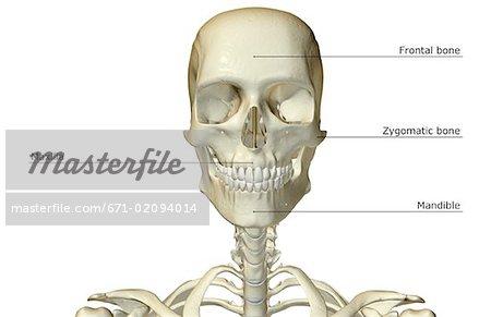 The Bones Of The Head And Neck Stock Photo Masterfile Premium