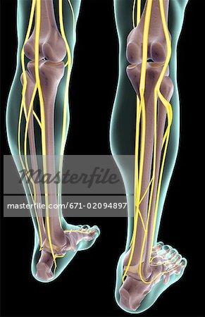 The nerves of the leg - Stock Photo - Masterfile - Premium Royalty ...