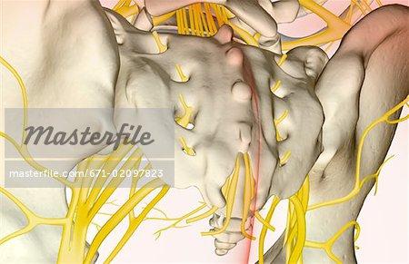 Biology 161 lab_8_spinal_cord__spinal_ne1
