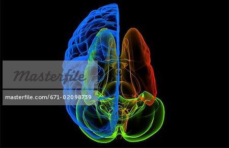 The cerebral nuclei