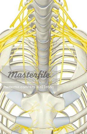 Nerves of the upper body