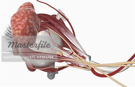 External Anatomy Of The Eye Stock Photo Masterfile Premium