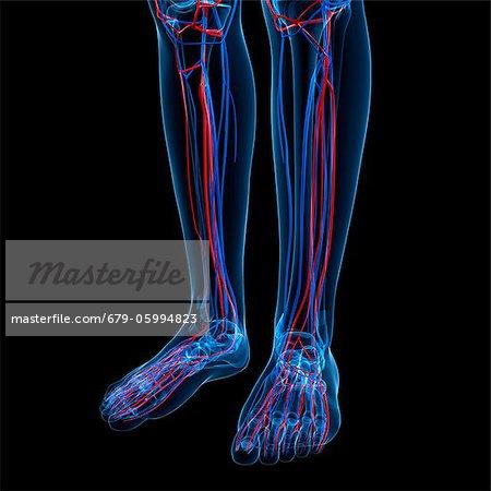 Vascular system, computer artwork. - Stock Photo - Masterfile ...