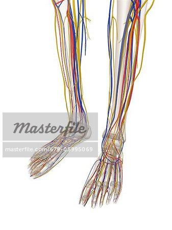 Human lower leg anatomy, computer artwork. - Stock Photo ...