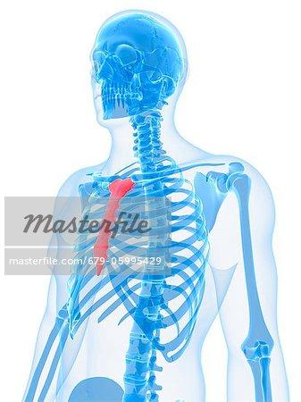 Breast bone, computer artwork. - Stock Photo - Masterfile - Premium ...