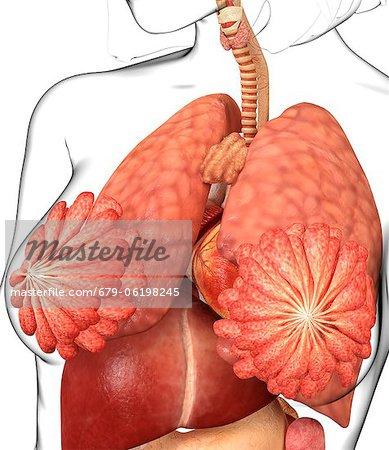 Female Abdominal Anatomy Computer Artwork Stock Photo