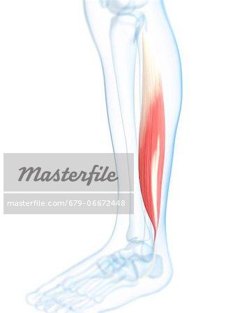Lower leg muscle. Computer artwork of the fibularis longus muscle of ...