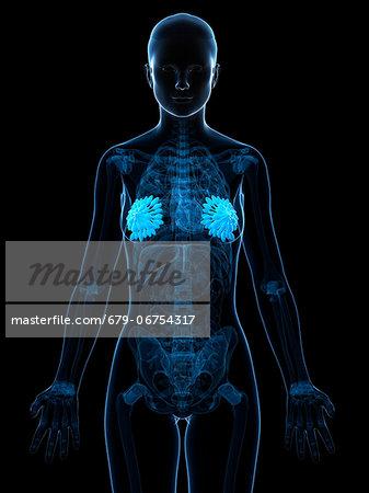 Breast anatomy, computer artwork.