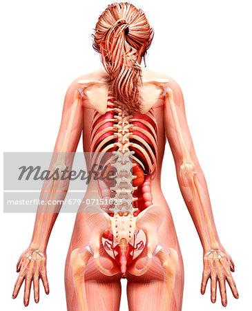 Female Anatomy Computer Artwork Stock Photo Masterfile