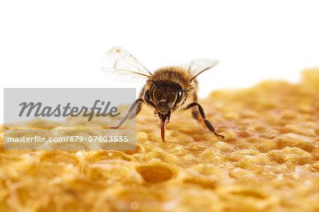 Honey bee (Apis mellifera) on honeycomb.