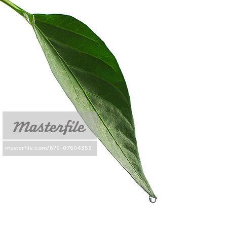 Water drop on leaf.