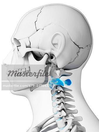 Human Neck Bones Computer Artwork Stock Photo Masterfile