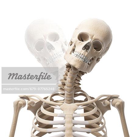 Human Skull And Neck Bones Computer Artwork Stock Photo