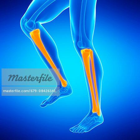 Human Lower Leg Bones Illustration Stock Photo Masterfile