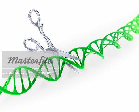 DNA (Deoxyribonucleic acid) strand model being cut by scissors, illustration.