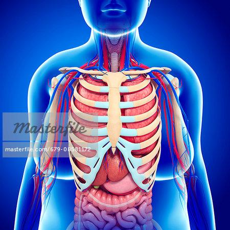 Human Ribcage And Internal Organs Illustration Stock Photo