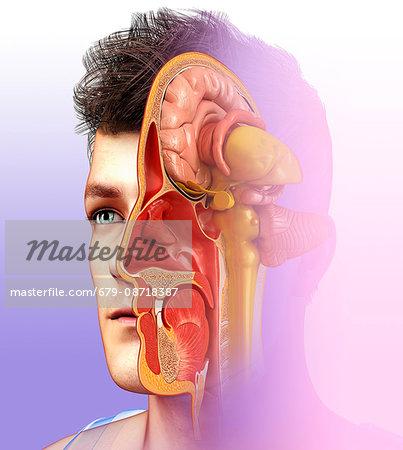 Illustration of human brain anatomy with nasal cavity. - Stock Photo ...