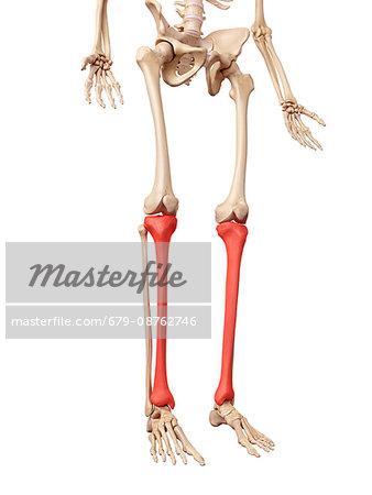 Human leg bones, illustration. - Stock Photo - Masterfile - Premium ...