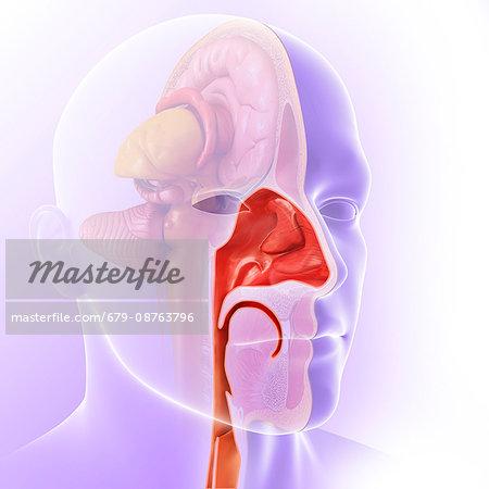 Illustration Of The Anatomy Of The Human Nasal Cavity Stock Photo