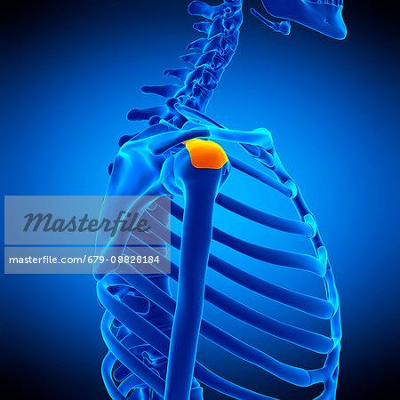 Illustration of the subdeltoid bursa. - Stock Photo - Masterfile ...